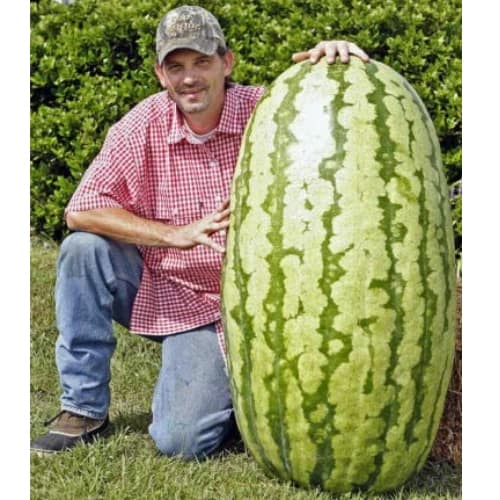 200 lbs pounds Watermelon